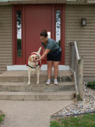 Buck The Labrador is on his way to being a Service Dog