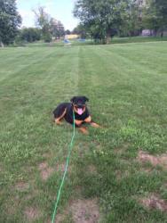 The Rotten Rottie St. Johns Michigan Board and Train dog training